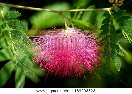Delicate pink flower Lenkoran acacia (Albizia julibrissin) poster