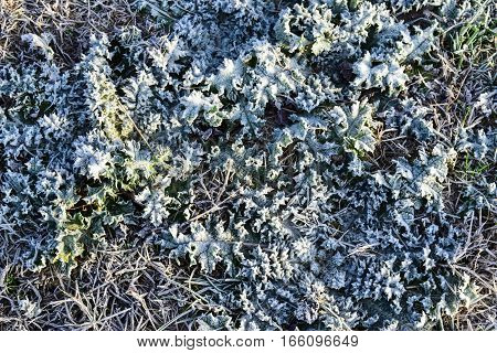 Leaves Of Grass With Snow. Frozen Ground. Background Of The Soil And Snow