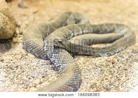 Close up view of a Brazilian Rattlesnake (Crotalus viridis helleri durissus)