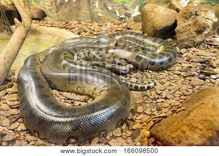 Jiboia (epicrates Cenchria) Is A Boa Species