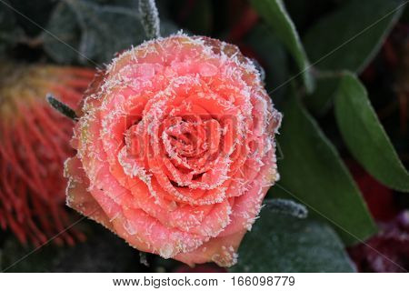 White hoar frost on a single pink rose