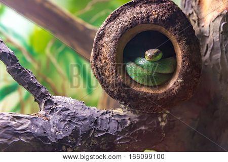 Boiubu Lichtensteins Green Racer (philodryas Olfersii) Slithering