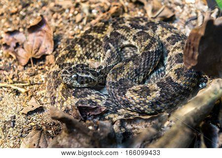Caatinga Lancehead Snake (bothrops Erythromelas) On The Ground