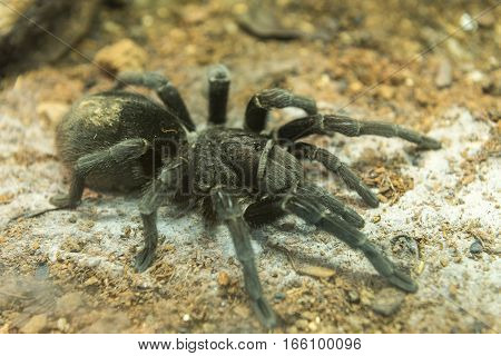 Brazilian Black Tarantula Found In Brazil And Uruguay