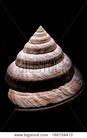 Close up photo of a 'slit shell' taken at the Houston Museum of Natural Science against a black background