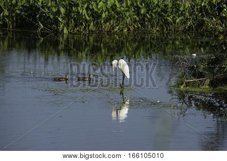 Great Egret balancing act as two Wood Duck pass by