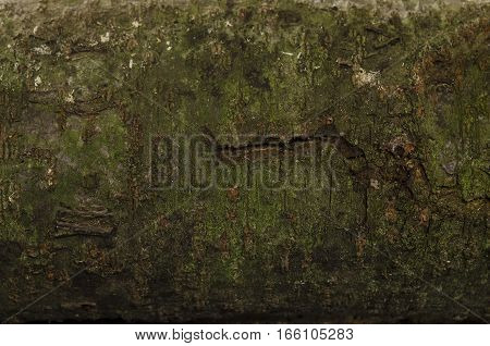 Focused texture of grainy crust of the cherry wood