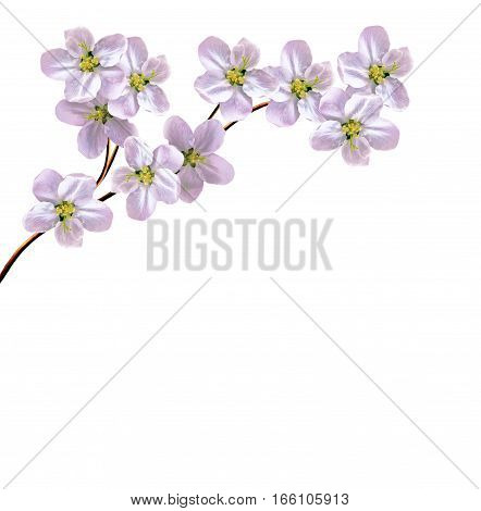 Flowering branch of apple isolated on a white background. Spring