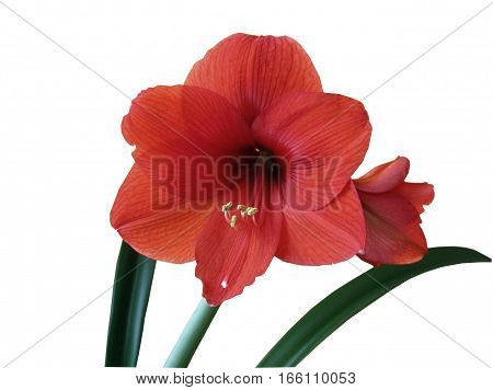 clipping path isolated of an amaryllis flower on a white background