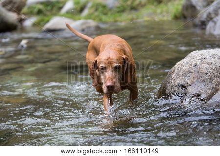 golden pure breed vizsla dog walking in river