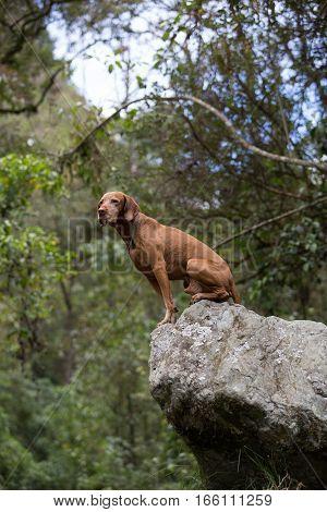 vizsla dog sitting on a boulder in the Colombian jungle