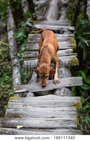 golden colour vizsla dog crossing a rustic bridge in the Colombian jungle
