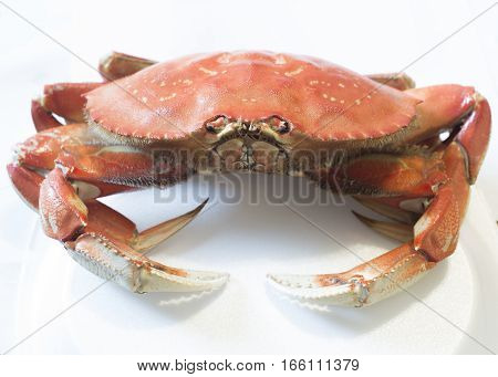 Cooked Dungeness crab isolated on white background