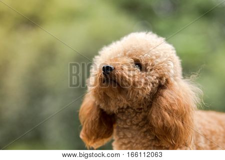 Toy Poodle playing On Grassy Field .