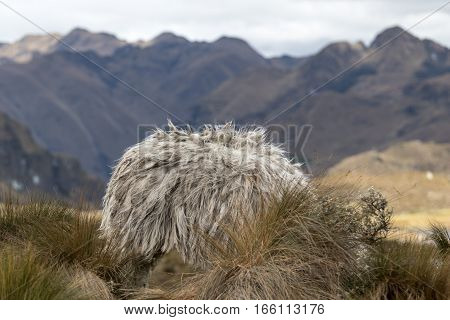alpaca in Ecuador with head hidden behind bush