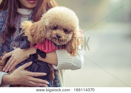 Toy Poodle playing with its female master in a park.