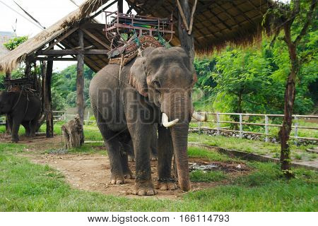Tamed elephant with saddle in tropical rainforest