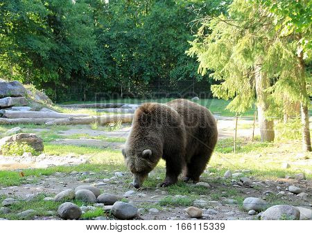 The brown bear under the tree  looking food
