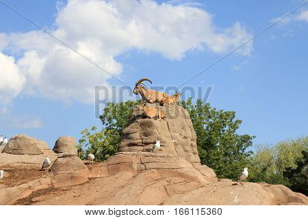 Two wild goats lying on the rocks