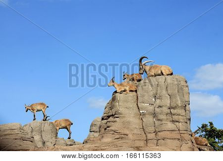 Many wild goats lying on the rocks