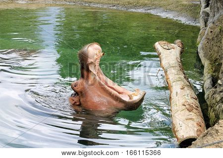 Hippo with open mouth sitting in water