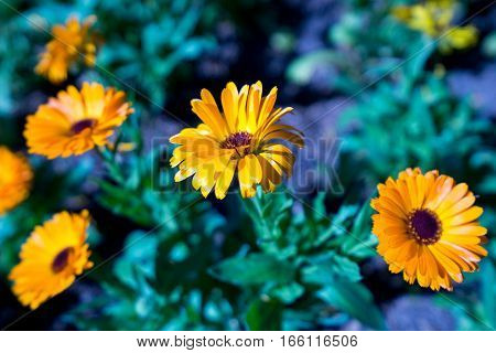 Yellow flowers. Rudbeckia fulgida plants. background flower