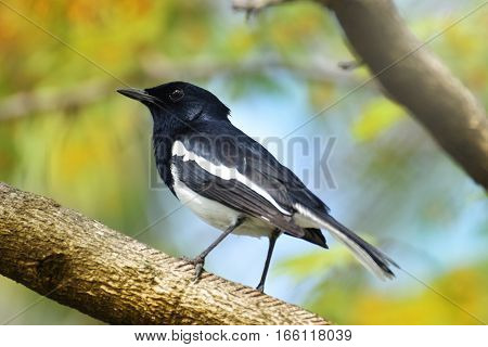 Birds of a body in white and black. It stands alone on a limb. Oriental magpie robin Copsychus saularis bird hold on branch