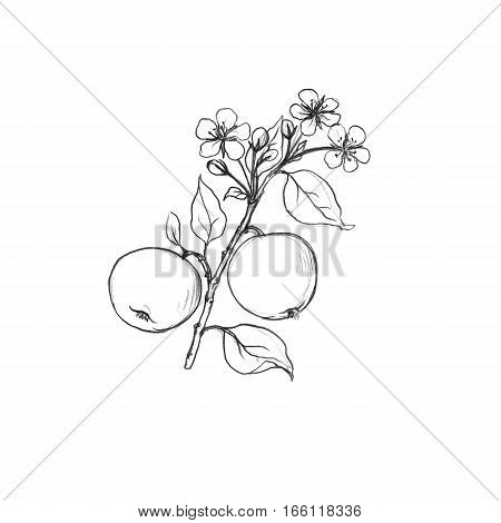 apple tree branch with fruits, leaves, buds and flowers drawing by graphite pencil, isolated hand drawn elements