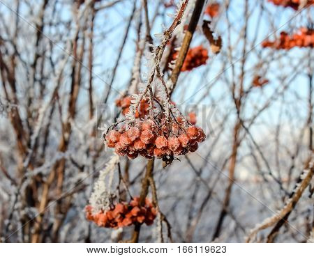 Frozen rowan berries that remain on the branches until January