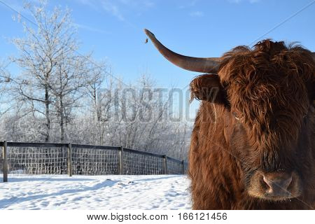 a photo of a long horn cow with blue sky