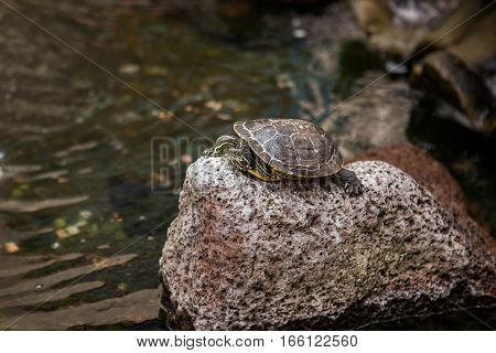 Turtle rests on the stone in a pond