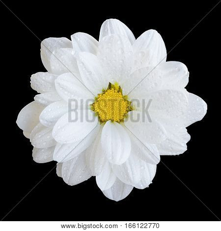 Natural Tender White Gerbera Flower Macro Isolated On Black