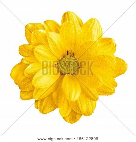 Tender Natural Yellow Gerbera Flower Macro Isolated On White