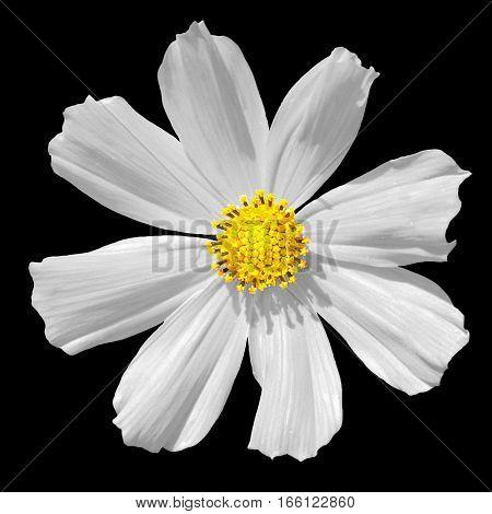 White Primula Flower Macro Isolated On Black