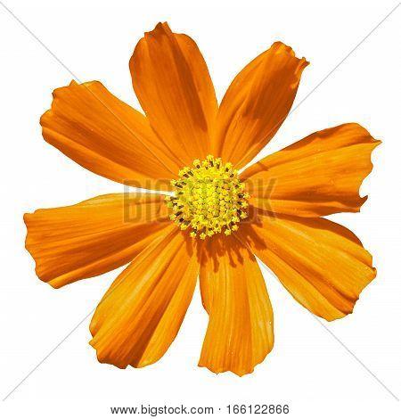Orange Primula Flower Macro Isolated On White