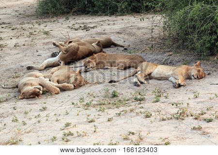 group family sleeping lioness in the African savannah Botswana