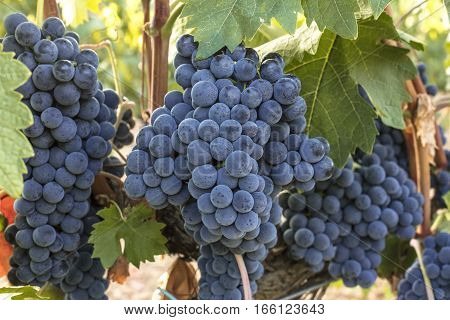 A vibrant photo of wine grapes hanging from a vine in a vineyard, just before the autumn harvest poster