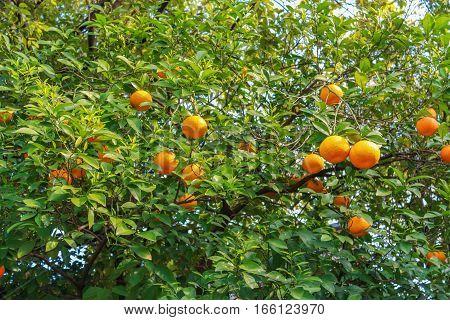 mandarin orange tree green leaves nature park