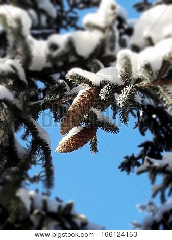 Two fir cones hanging on snow-covered fir branch against the blue sky