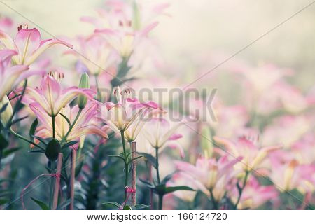 Beautiful Lilly Flower in the garden, vintage tone style