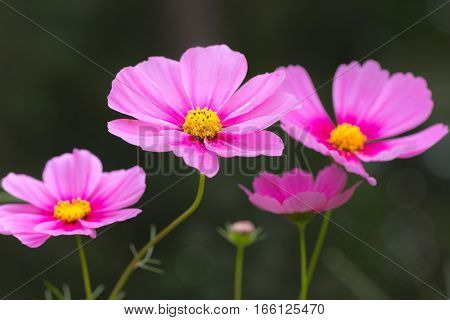 Beautiful pink cosmos flower on black background