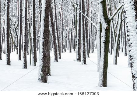 Trees And Ground In Winter Forest Covered With Snow After Snowfall