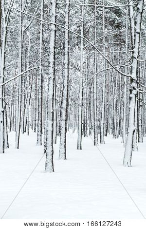 Winter Forest With Tree Trunks And Branches Covered By Snow