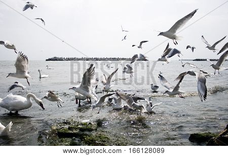 A overcrowded scene with swans and seagulls fighting for food in the black sea