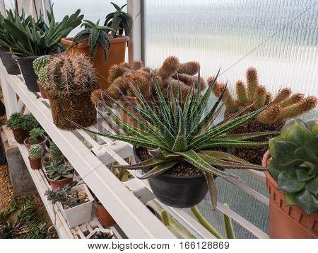 Beautiful cactus on shelf in plant nursery.
