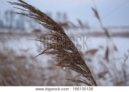 Dry grass on the sparkling snow winter