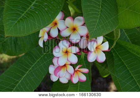 Plumeria Flower Pink And White Frangipani Tropical Flower