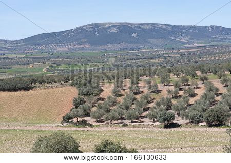 Olive groves in a mosaic landscape. Photo taken in Ciudad Real, Spain