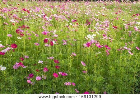 A landscape view of cosmos flower field