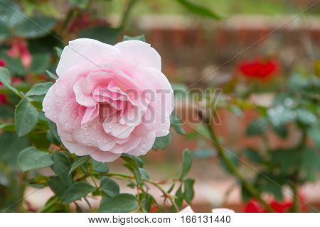 pink rose flower in the garden with water droplets on the petals